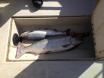 First Salmon in my arima