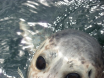 seal clubbed