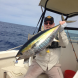 Yellowfin1